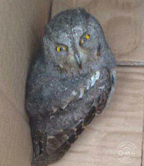 长白山自然保护中心野生动物救助站成功救助受伤猫头鹰幼崽